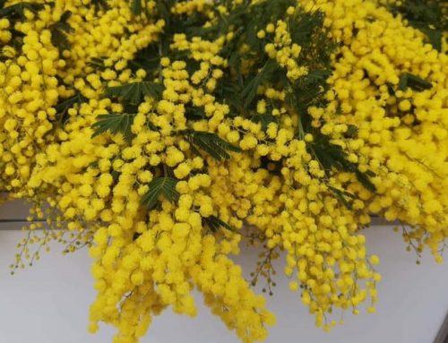 Simbolika cvijeta mimoze u borbi protiv raka vrata maternice